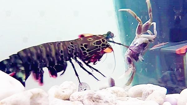 强化5次螳螂螃蟹作法 问道