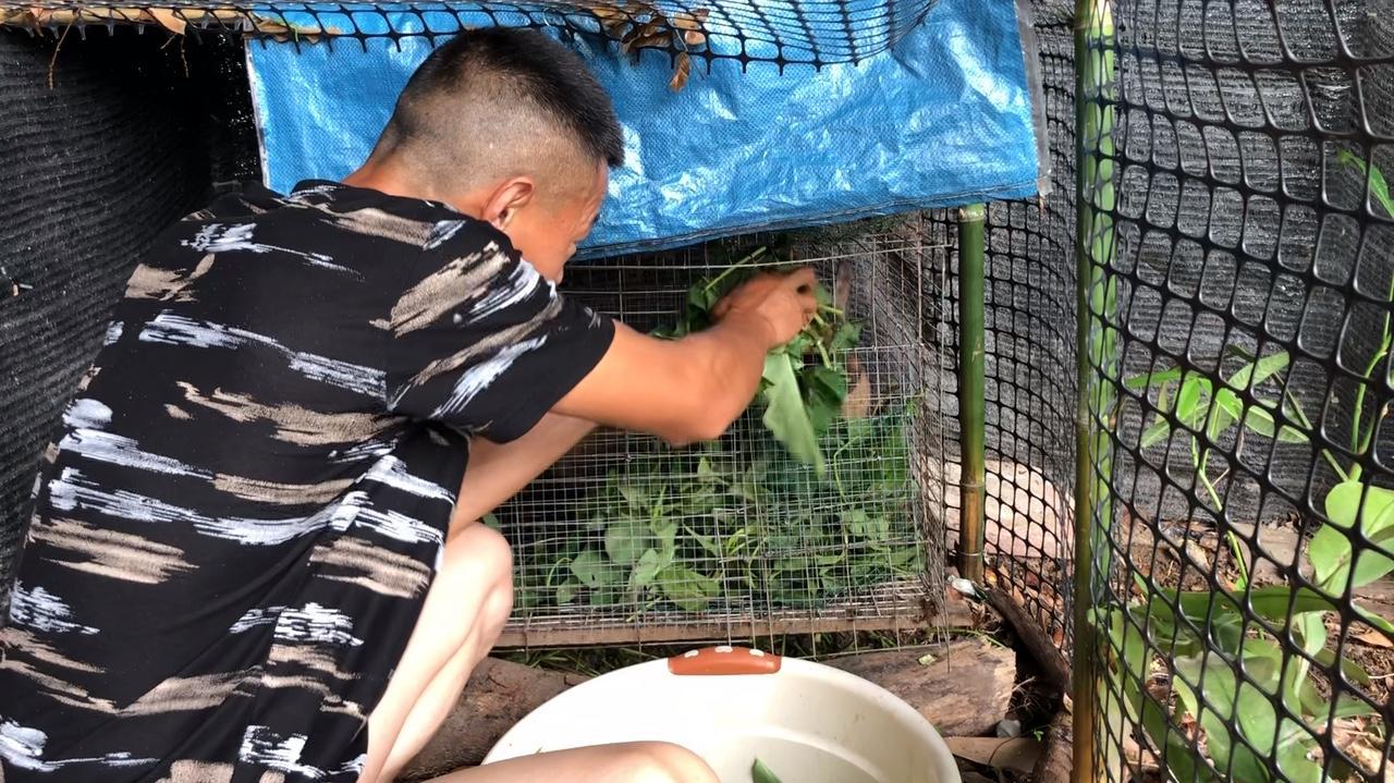 养了两只灰色兔子,每天给它们吃一盆空心菜叶子!