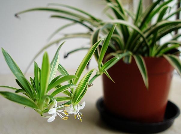 净化空气吸甲醛植物排名榜
