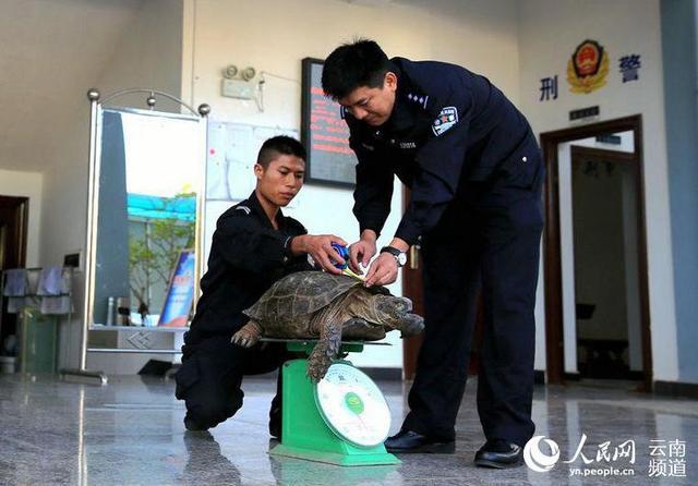 凹甲陆龟品种简介|-波奇网百科大全