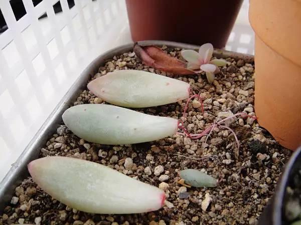 繁殖多肉植物最简单的方法,只需要一片叶子就行了