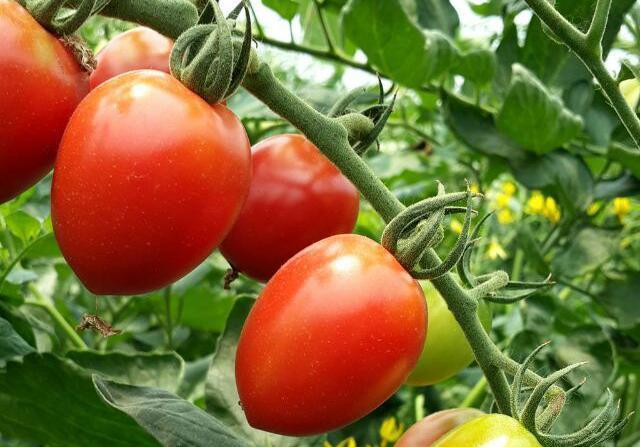 有机蔬菜图片_22张 (天堂图片网)