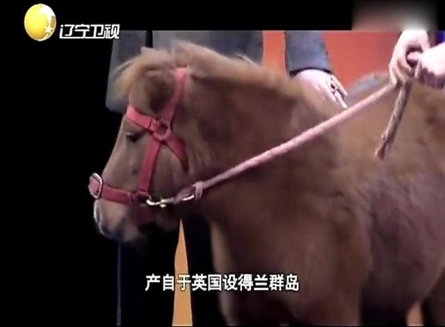 山东济宁公园小矮马 宠物矮马 小矮马价格,小矮... - 中国供应商