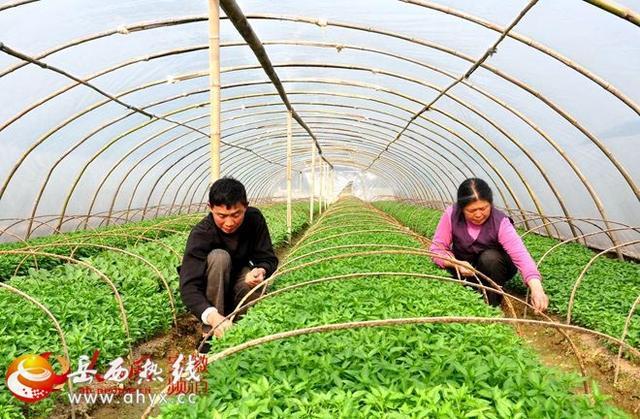人民网:岳西高山蔬菜富农家