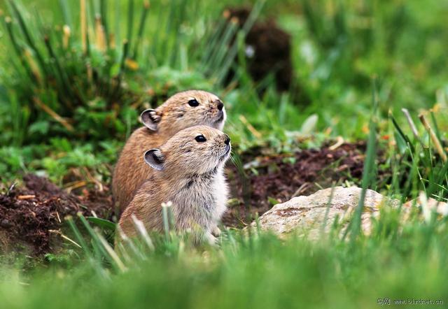 全球不足千只 稀有物种伊犁鼠兔引关注