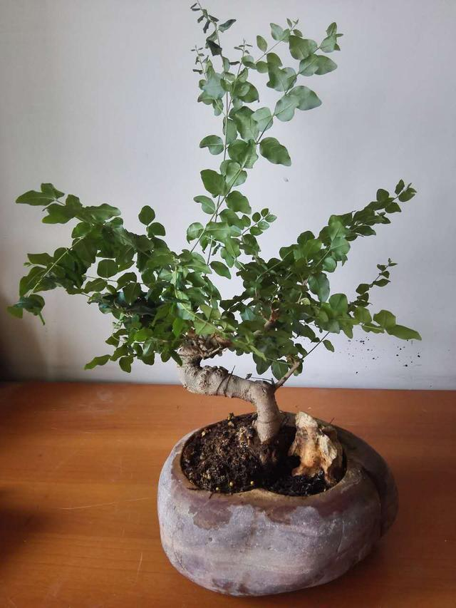 小叶女贞盆景造型树
