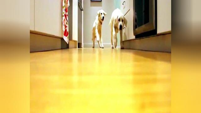 金毛幼犬图片二个月