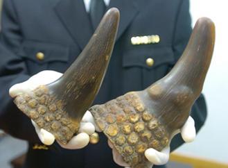 犀牛角的特征图片