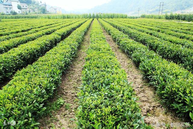 """你知道日照绿茶,是世界茶学家公认的""""三大海岸绿茶城市""""吗?"""