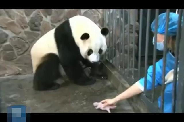 棕色大熊猫