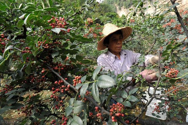 种植花椒树前景及种植技术