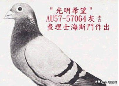 老品种西翁信鸽图片