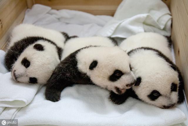 饱暖不思欲?探访成都大熊猫基地:原来国宝们的生活比人还高级