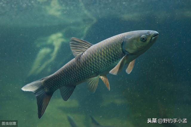 夏季如何做钓草鱼?从三个水层解读做钓,做钓草鱼很简单