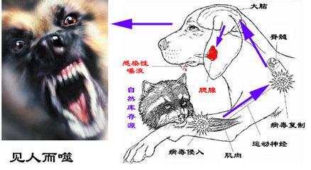 狂犬病的早期症状主要表现在哪些方面?_疾病_快速问医生_有问必答