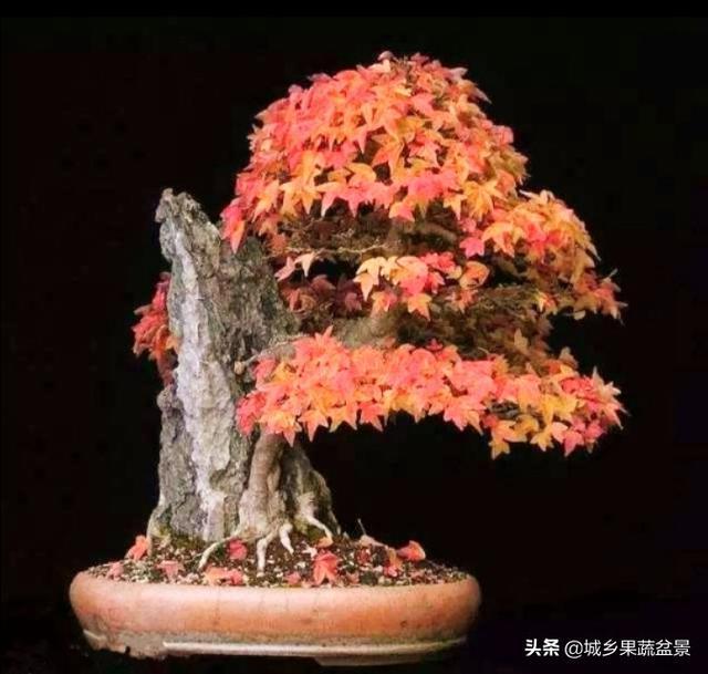 红枫裸根几月移栽最好