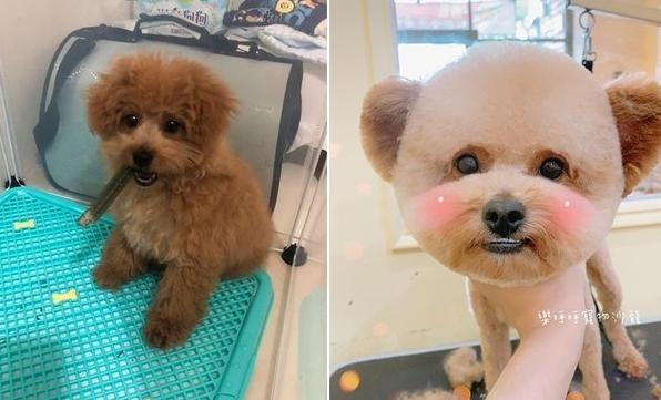 垂耳立起来 美容师打造专属泰迪造型