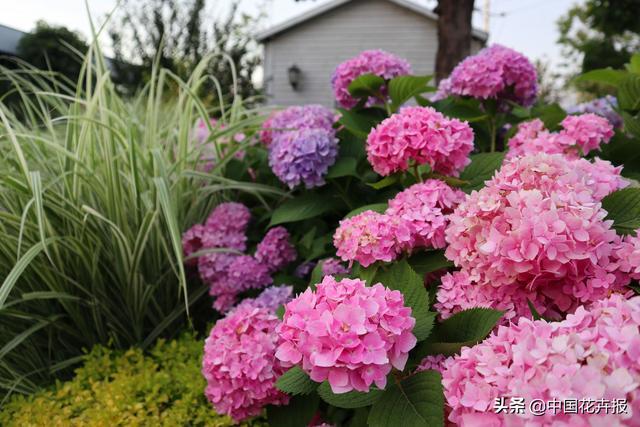 多年生宿根花卉种子