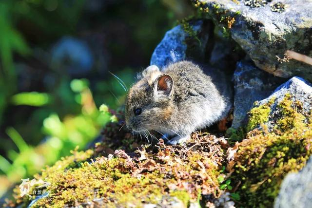 鼠?兔?傻傻分不清:四川唐家河发现新物种