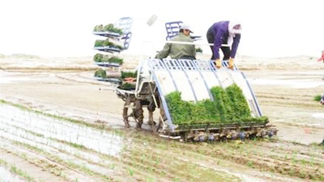 好消息!沙漠里种出中国水稻!袁隆平团队创下农业发展奇迹!