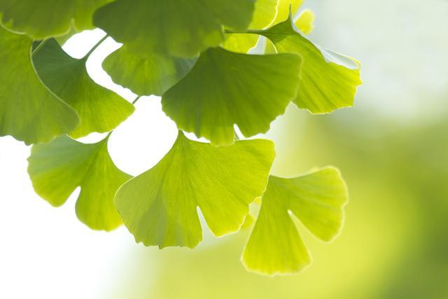 【银杏树叶有什么功效】_银杏叶_益处_好处_药效-大众养生网