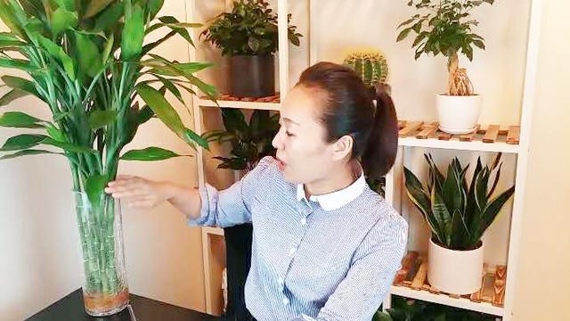 水培富贵竹,这个快速生根的土方法,别再怪我没有告诉你!