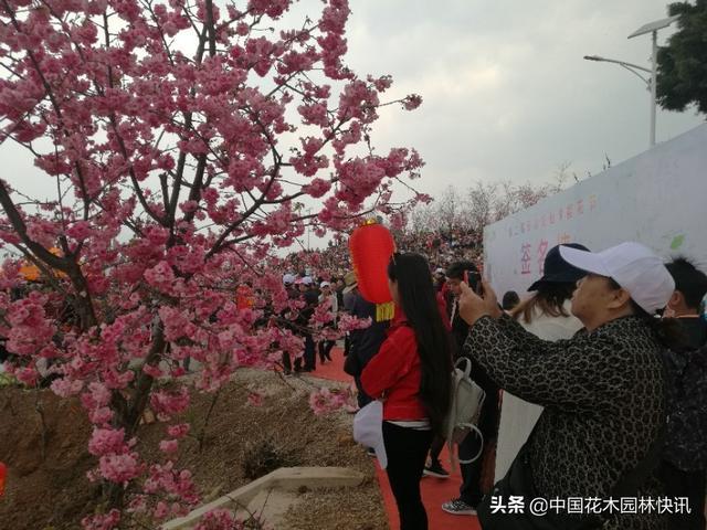 佛山哪里有櫻花