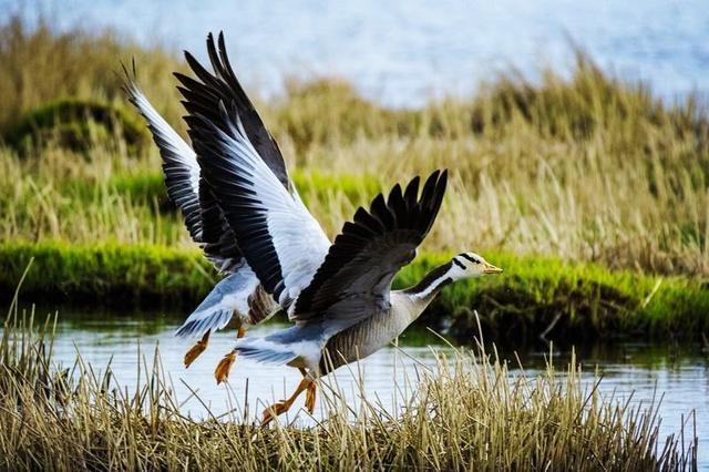 青海湖候鸟图片大全