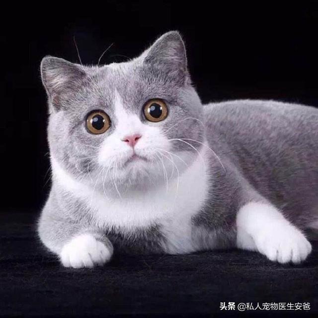 猫咪的品种-第2张图片-深圳宠物猫咪领养送养中心