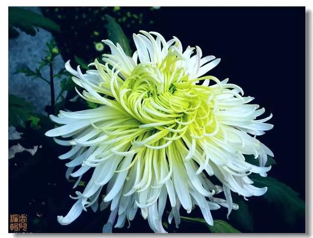 名菊品种图片大全