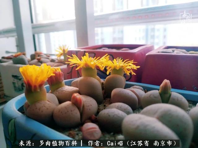 多肉植物锦图片