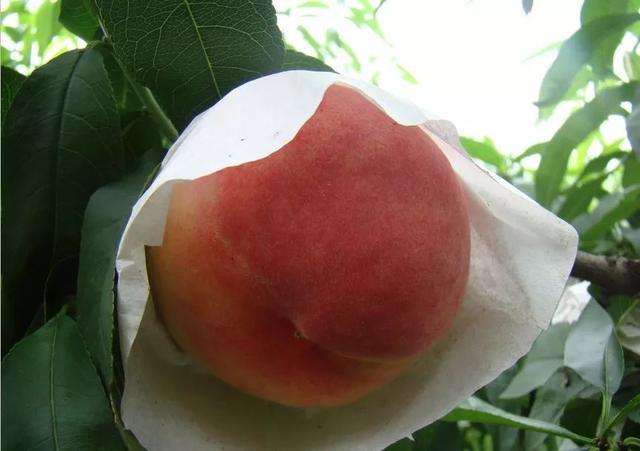极早美脆桃一亩田种植多少棵?
