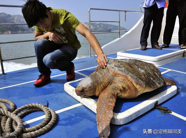 浙江渔民捕获108斤受伤大海龟  救治后放生时海龟一举动感人泪下
