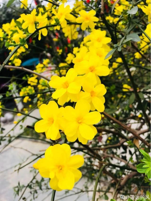 100种常见花的花语
