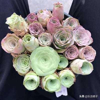 山地玫瑰,多肉中的绿玫瑰,新手做好这一点就能养好山地玫瑰
