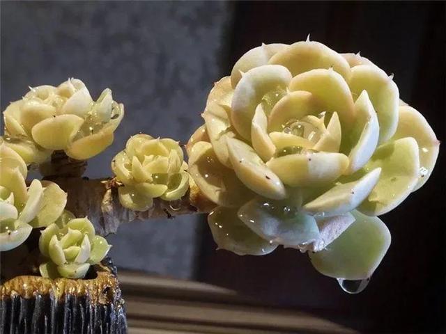 多肉 植物 可爱玫瑰_正版商业图片_昵图网nipic.com