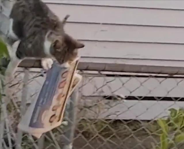 """猫咪派送报纸,报恩""""盗窃"""",主人:根本没有订阅报纸-第4张图片-深圳宠物猫咪领养送养中心"""