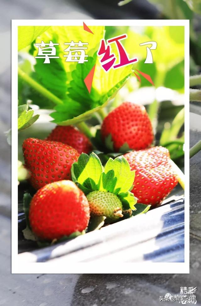 草莓红了熟了!石碣这场草莓香甜盛宴不容错过!