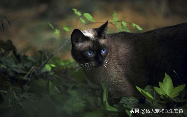 猫咪的品种-第5张图片-深圳宠物猫咪领养送养中心