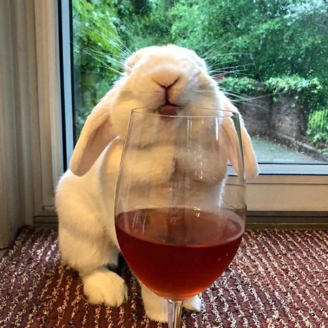 这只兔子喜欢喝各种饮料,舌头伸出来的样子萌萌的,会不会喝醉呢