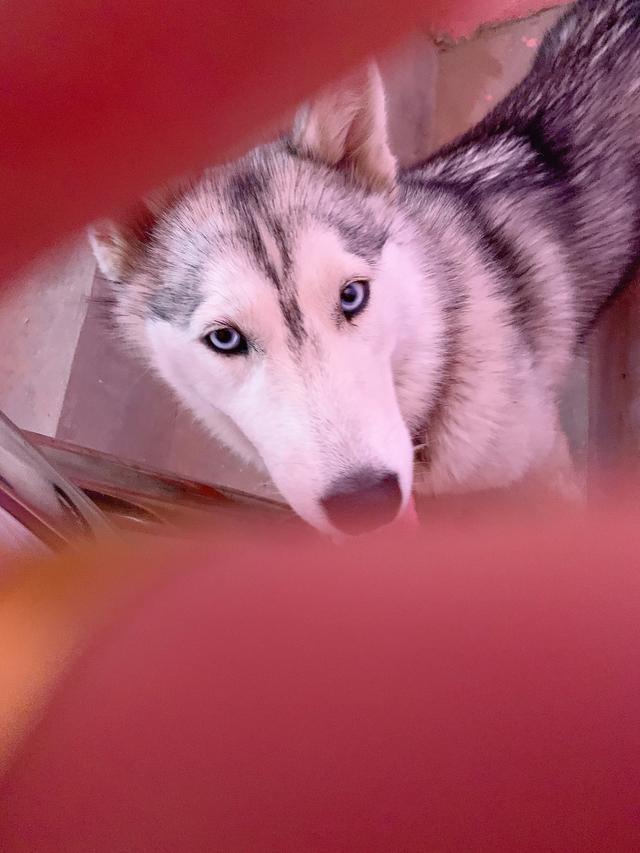 阿拉斯加雪橇犬小时候