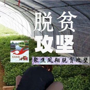 宝鸡凤翔虢王农民庆祝红薯丰收了!预计收入2492万元