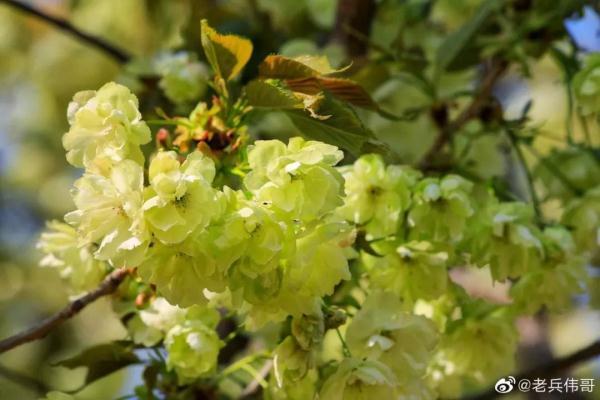 郁金樱花图片
