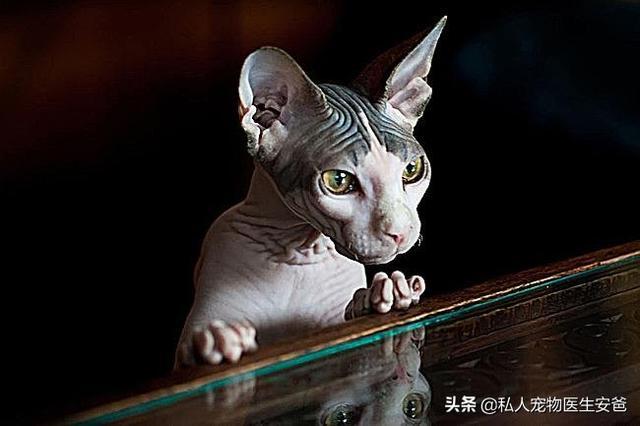 猫咪的品种-第6张图片-深圳宠物猫咪领养送养中心