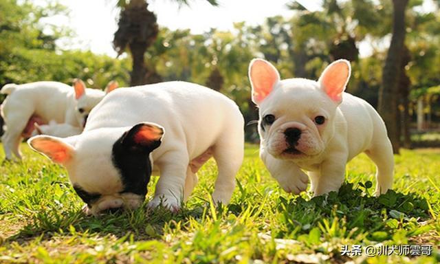 小型宠物狗大全图
