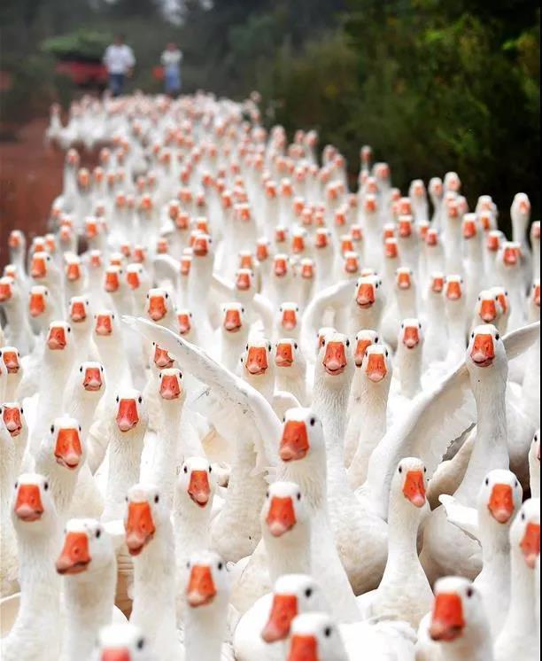 六安:受疫情影响,生态大白鹅卖不掉,大哥愁坏了