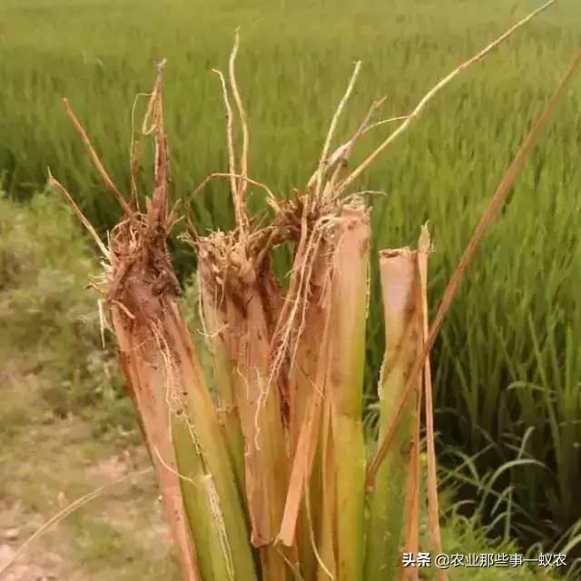水稻立枯病病害图片