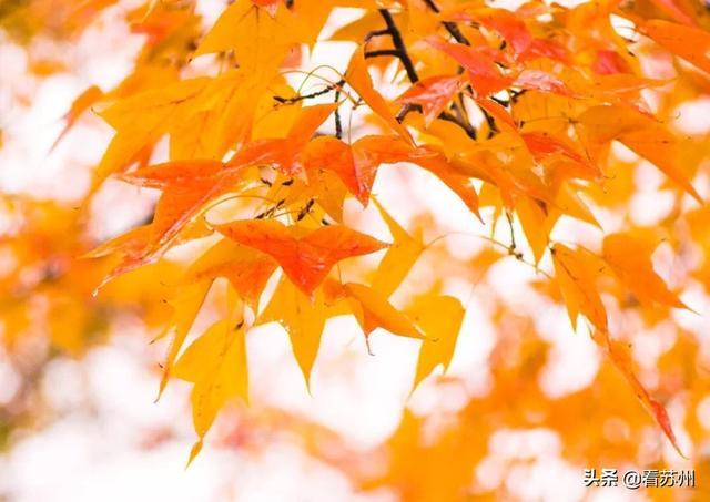 天平山枫叶,红啦!周末还有这些亲子、约会、秋游好去处