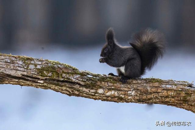 【魔王松鼠】魔王松鼠的寿命与主人的喂养方法有很大... _秀宠网