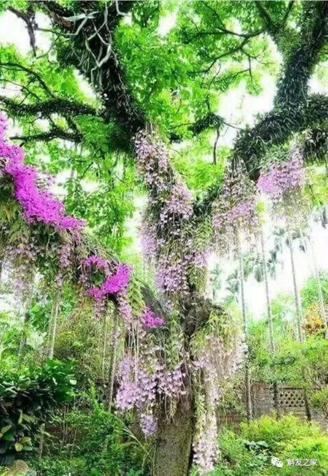 盆栽石斛花,养护小技巧,年年不断爆盆,花开清香优雅